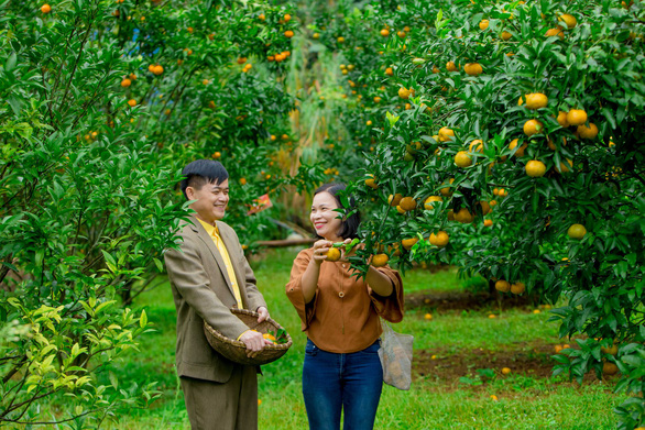 Picking ripe mandarin oranges at orchards in northern Vietnam