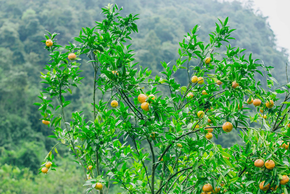Mandarins hang from a tree in Lang Son Province, northern Vietnam. Photo: Tran Doan Huy