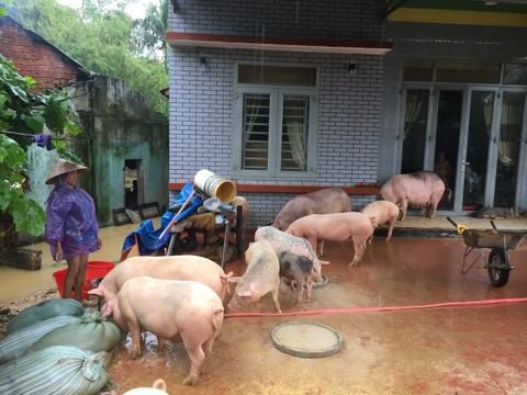 Pigs are moved to a higher ground following a flood in Quang Nam Province, central Vietnam, December 10, 2018. Photo: Tuoi Tre