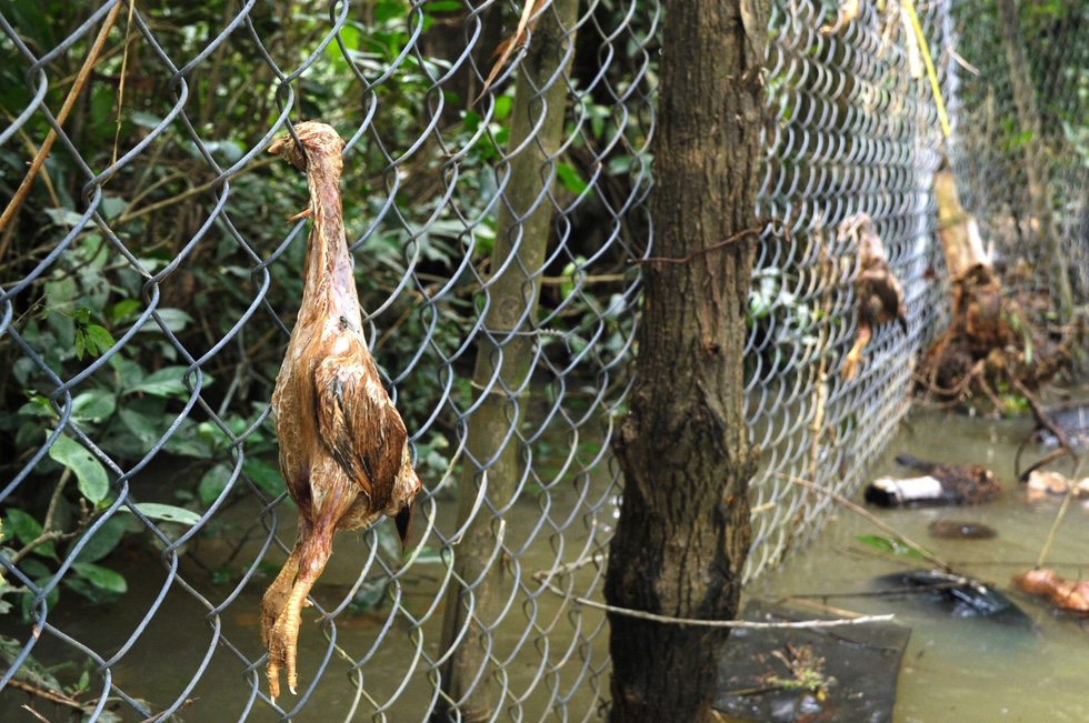 Chicken bodies are stuck on a fence at a farm in Quang Nam Province, central Vietnam, December 12, 2018. Photo: Tuoi Tre