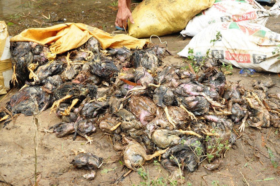 Chicken bodies lie on the ground at a farm in Quang Nam Province, central Vietnam, December 12, 2018. Photo: Tuoi Tre