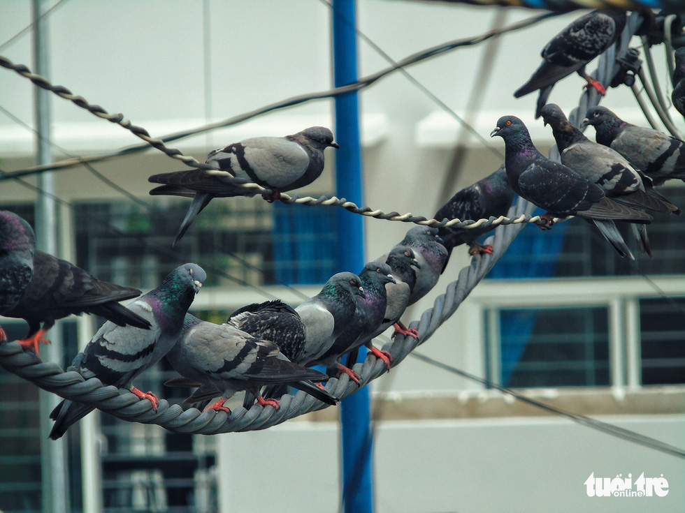 Pigeons kept by a family in the Hang Phan apartment building in Ho Chi Minh City, Vietnam. Photo: Tuoi Tre