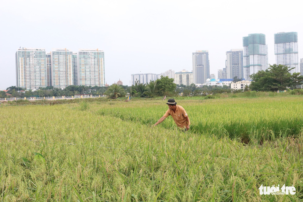 A farmer works at his rice field in Ho Chi Minh City, Vietnam. Photo: Tuoi Tre