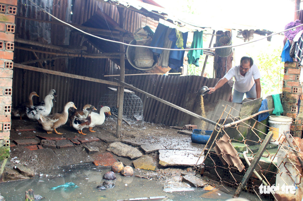 A man feeds rice to ducks at his home in Ho Chi Minh City, Vietnam. Photo: Tuoi Tre