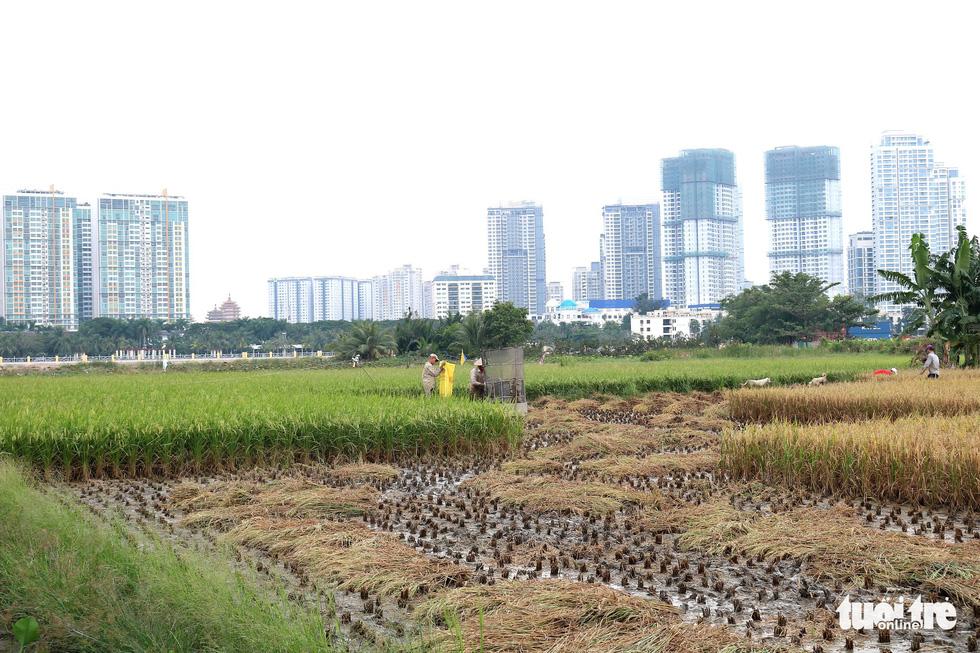 Farmers remove grains from rice plants in Ho Chi Minh City, Vietnam. Photo: Tuoi Tre