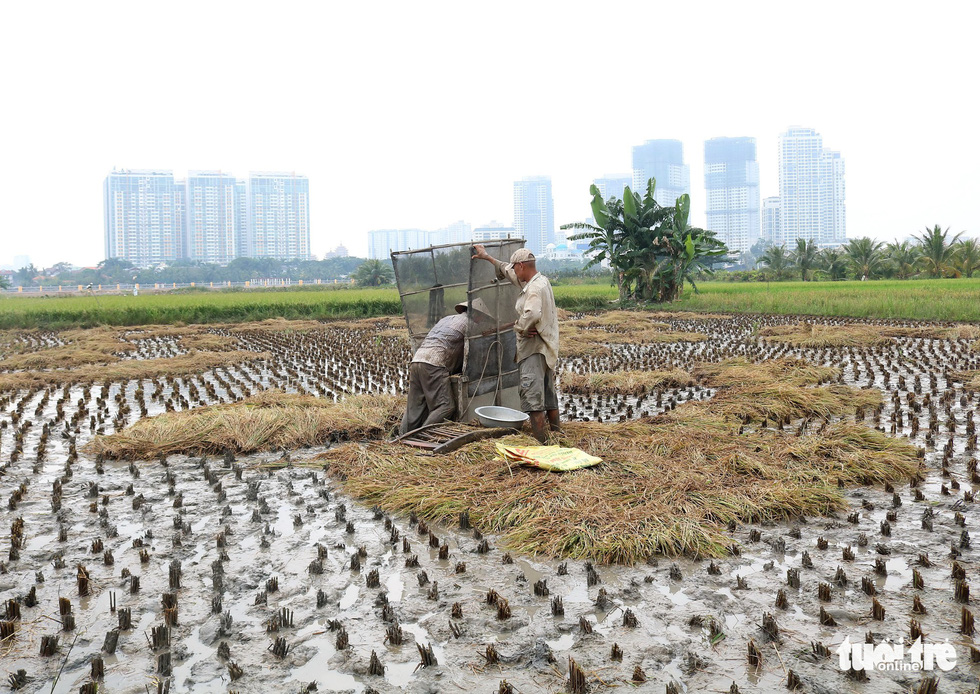 Farmers harvest rice next to high-rises in Ho Chi Minh City