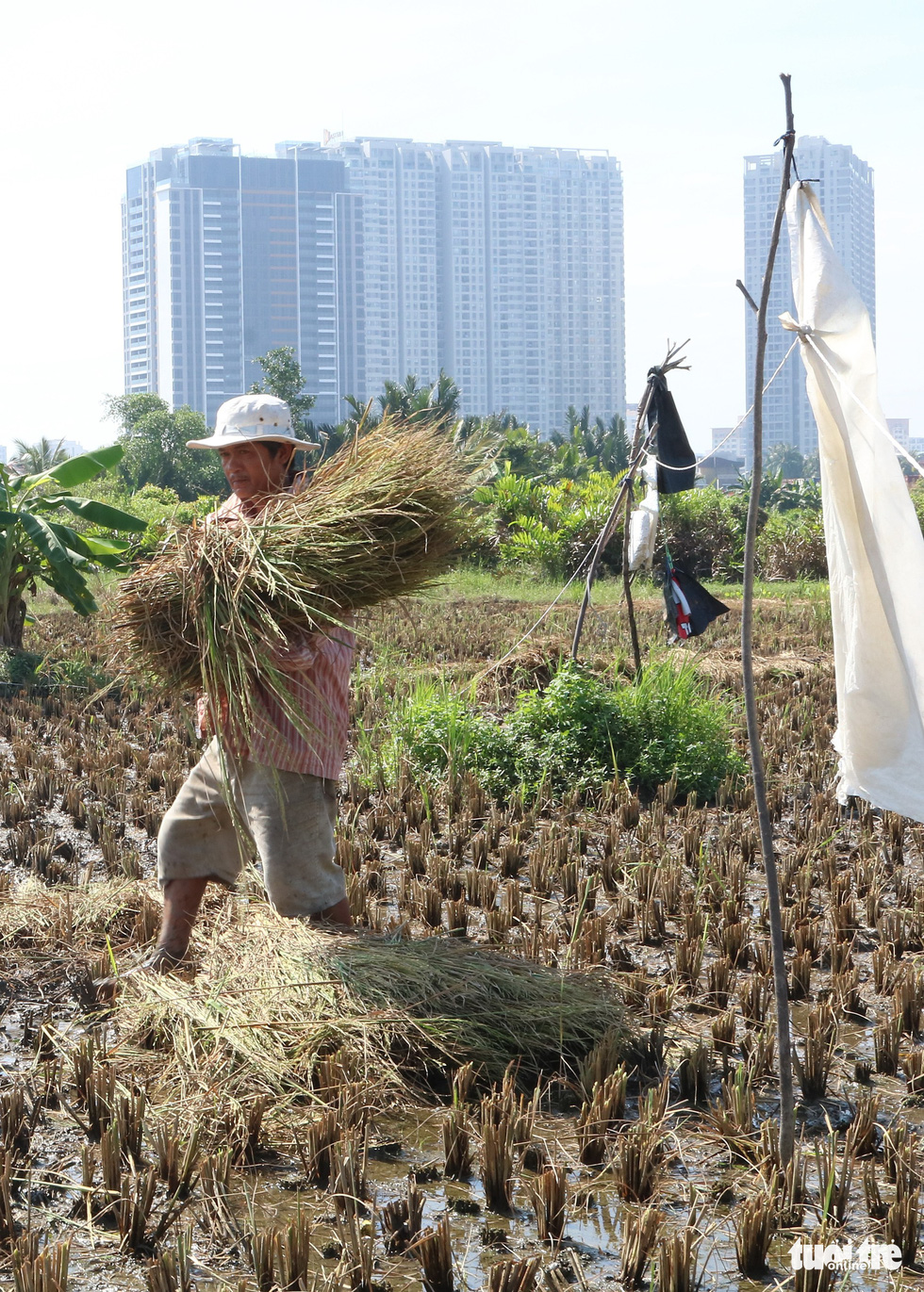 A farmer carries a sheaf of rice in his field in Ho Chi Minh City, Vietnam. Photo: Tuoi Tre