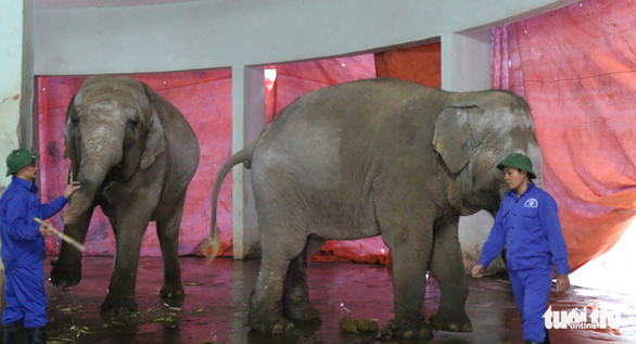 Large canvases shield the elephant enclosure from biting winds at Thu Le Zoo in Hanoi. Photo: Tuoi Tre