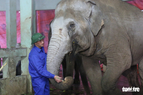 A zookeeper feeds an elephant at Thu Le Zoo in Hanoi. Photo: Tuoi Tre