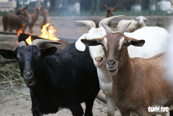 A flock of goats gathers near a fire inside their enclosure at Thu Le Zoo in Hanoi. Photo: Tuoi Tre