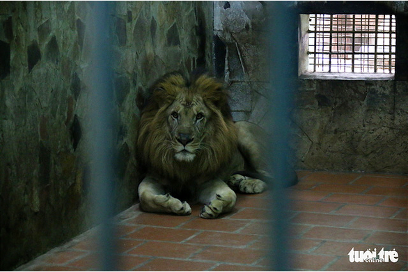 A lion rests inside its enclosure at Thu Le Zoo in Hanoi. Photo: Tuoi Tre