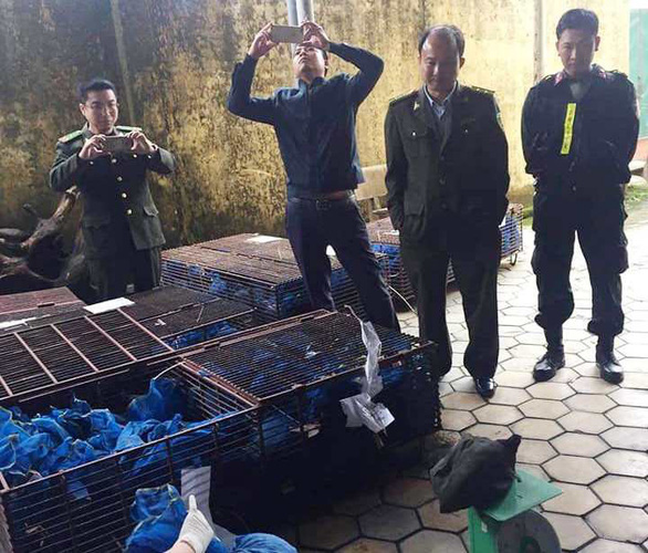 Officers in the north-central province of Ha Tinh examine the pangolins on January 16, 2019. Photo: Thang Dinh / Tuoi Tre