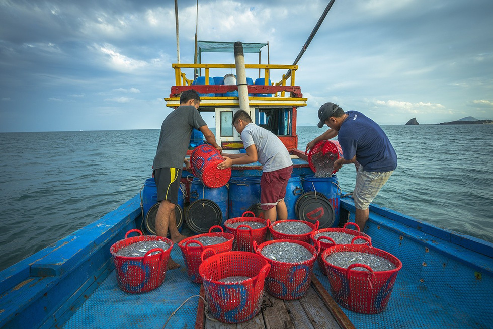 Once pulled up, anchovy batches are immediately preserved in salt-strung containers. Photo: TRAN BAO HOA