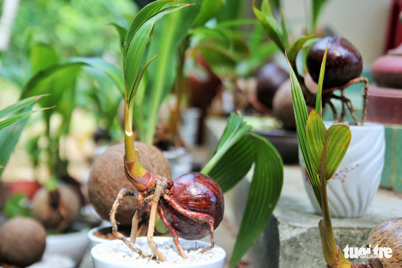 Vietnamese man turns coconut shoots into novel ornamental plants
