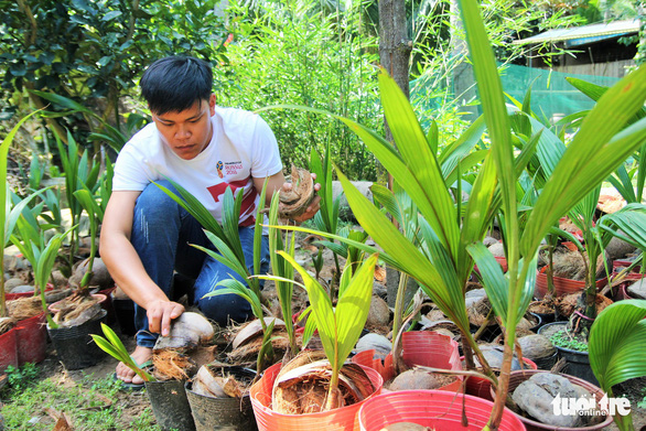 Nguyen Minh Chi takes care of young coconut plants at his house in Ben Tre Province, southwestern Vietnam. Photo: Mau Truong / Tuoi Tre