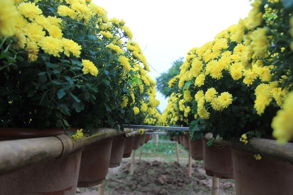 Chrysanthemums baskets are seen at a flower garden in  Long Bien District, Hanoi. Photo: Duong Lieu / Tuoi Tre