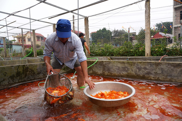 Local residents harvest red carp in Thuy Tram Village. Photo: Chi Tue / Tuoi Tre