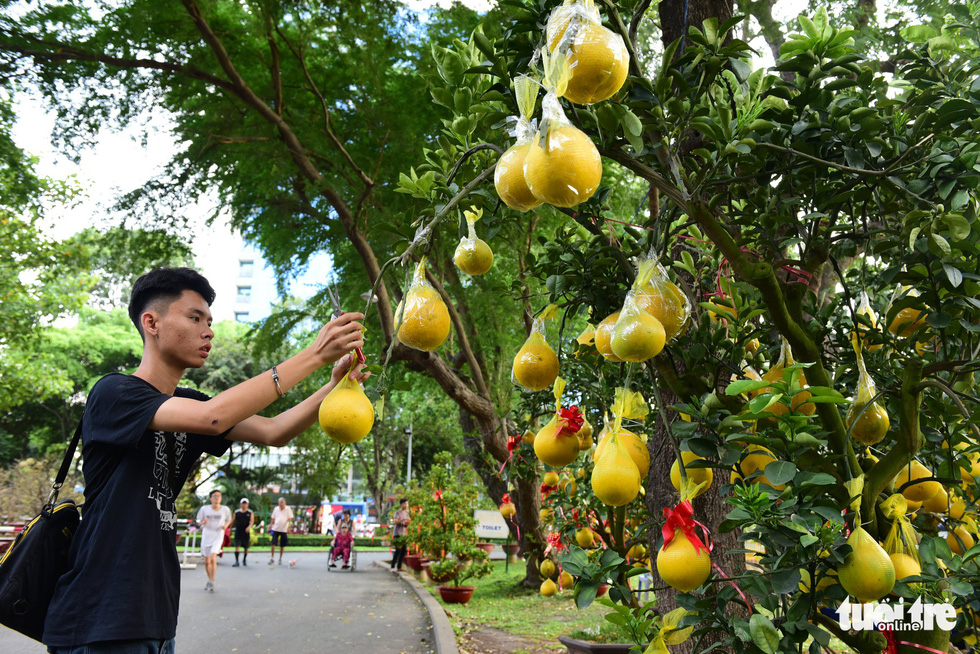 A man takes care of a pomelo tree at Hoang Van Thu Park in Ho Chi Minh City, January 2019. Photo: Duyen Phan / Tuoi Tre