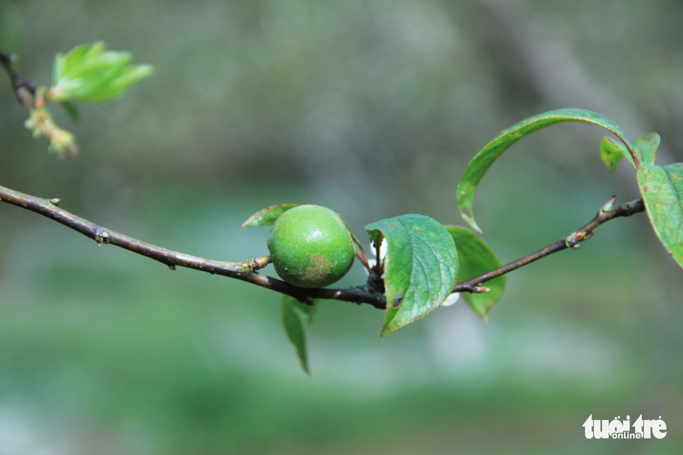 A plum is growing on a branch. Photo: Tuoi Tre