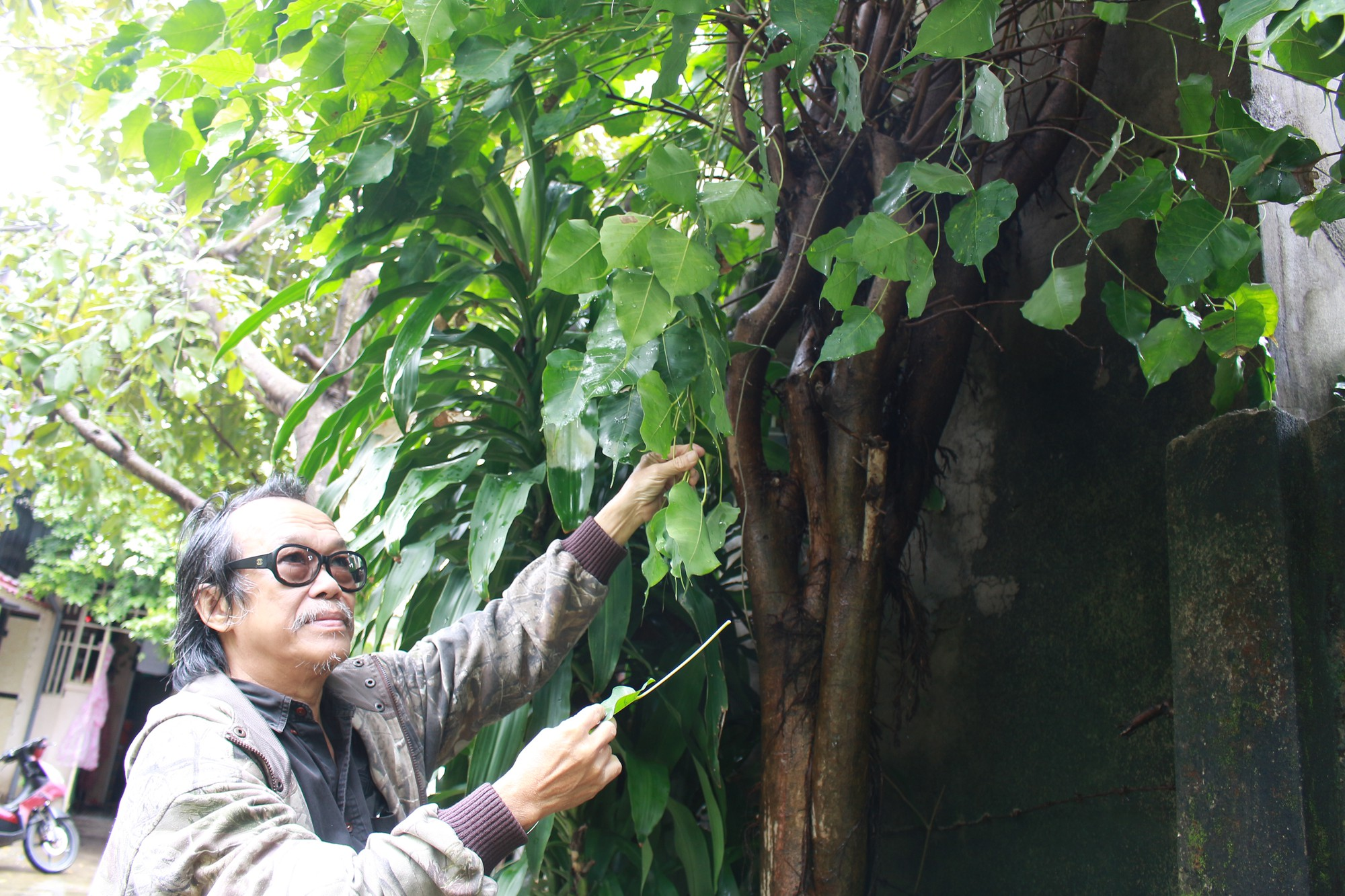 Le Nguyen Vy collects Bodhi leaves. Photo: Doan Nhan / Tuoi Tre