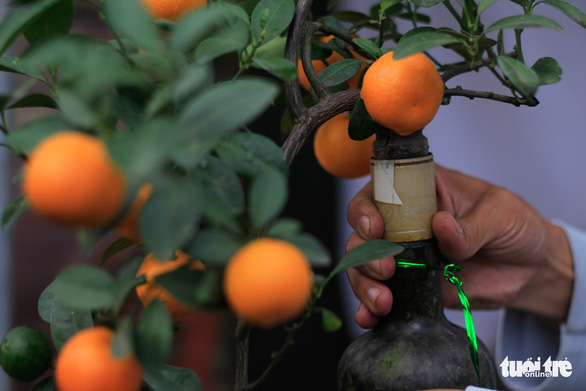 Kumquat trees grown inside glass bottles can still bear many aesthetically good-looking fruits fit for home decoration. Photo: Nguyen Hien / Tuoi Tre