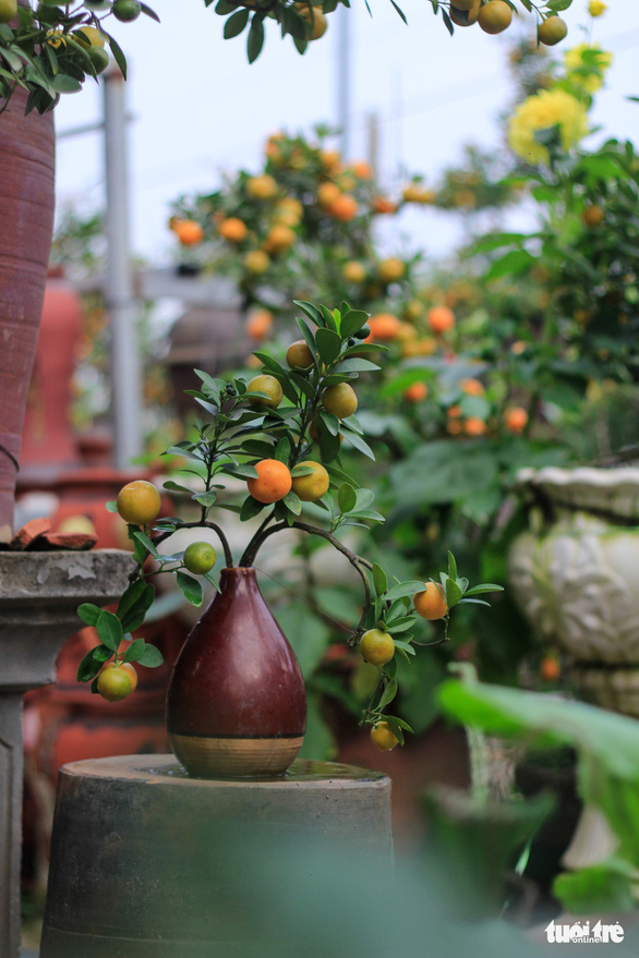 Ceramic vases are also used as containers for growing kumquat trees. Photo: Nguyen Hien / Tuoi Tre