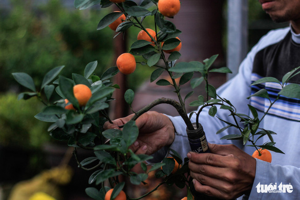 Phan Minh Quang tends to a kumquat bonsai tree grown inside a glass bottle. Photo: Nguyen Hien / Tuoi Tre