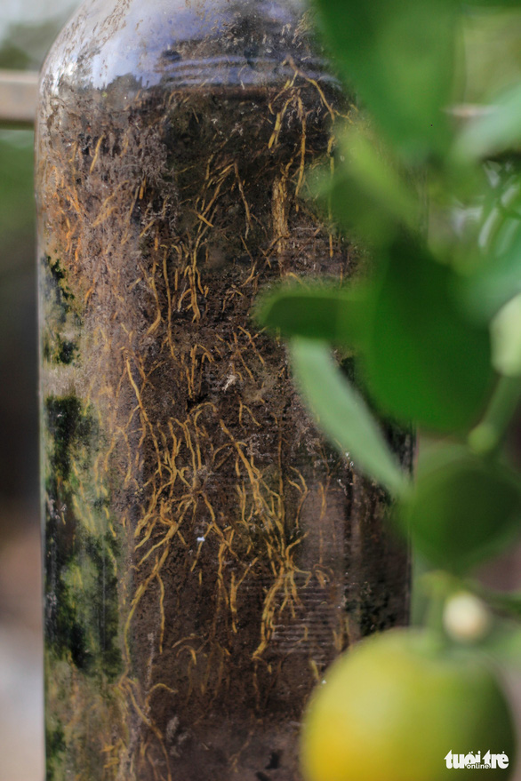 The root system of a kumquat tree is clearly visible when grown inside a glass bottle. Photo: Nguyen Hien / Tuoi Tre