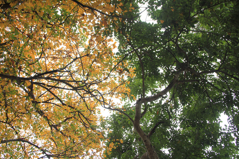 Trees are filled with yellow and red leaves in Hanoi. Photo: Duong Lieu / Tuoi Tre