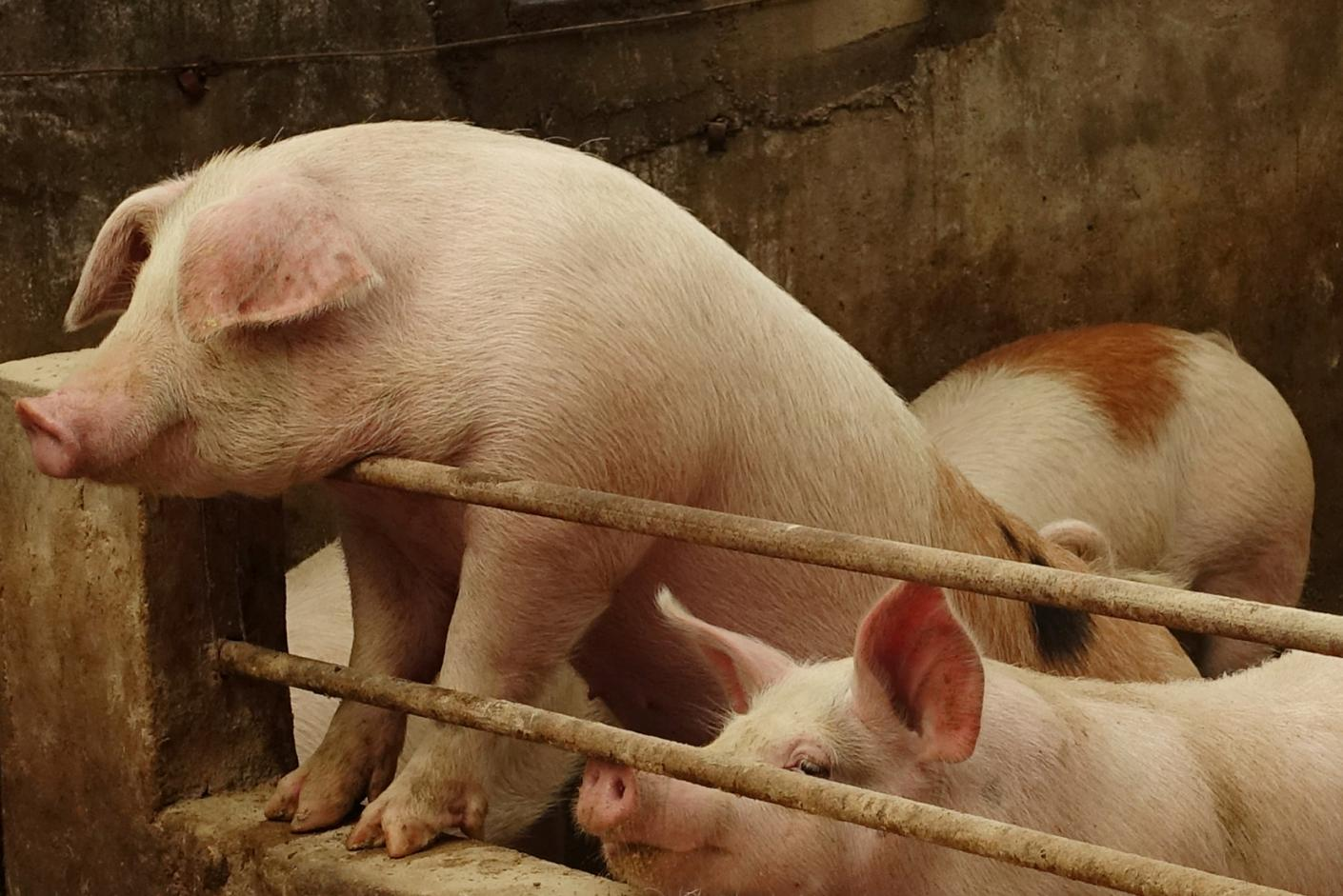 Vietnam confirms first African swine fever cases on three farms