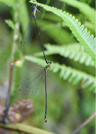 Two damselflies of the Coeliccia lecongcoi are seen in tandem in this photo taken from Phan Quoc Toan's paper published in Zootaxa in February 2019.