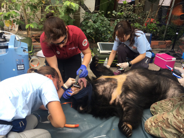 Wildlife charity workers examine a bear that was cage-raised at a home in Binh Duong Province, southern Vietnam. Photo: Ba Son / Tuoi Tre