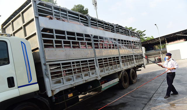 A truck carrying pork is sterilized before entering Ho Chi Minh City. Photo: Quang Dinh / Tuoi Tre