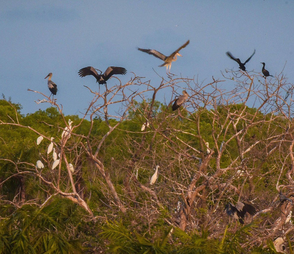Rare Asian openbill storks spotted for first time in Vietnam's Bac Lieu