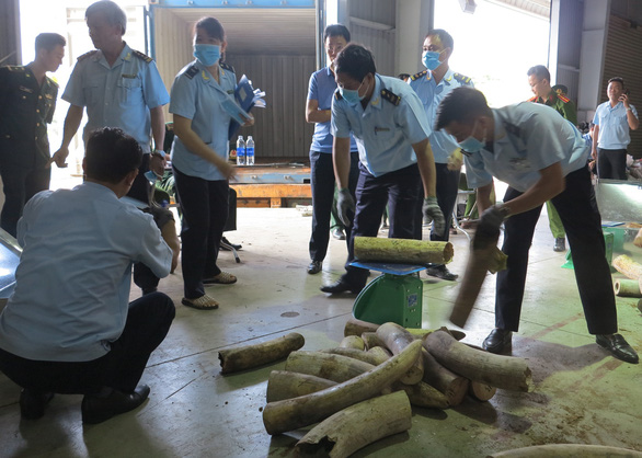 Customs officials weigh tusks taken from a ship container in Da Nang, central Vietnam, March 26, 2019. Photo: H.Q. / Tuoi Tre