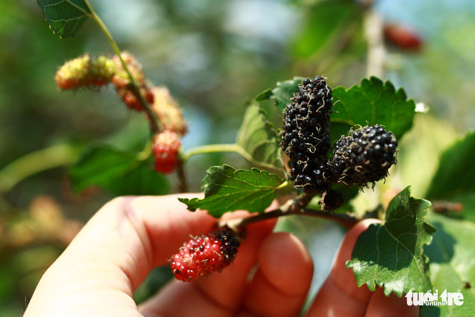 When mulberries ripen, they slowly turn black. Photo: Tan Luc / Tuoi Tre