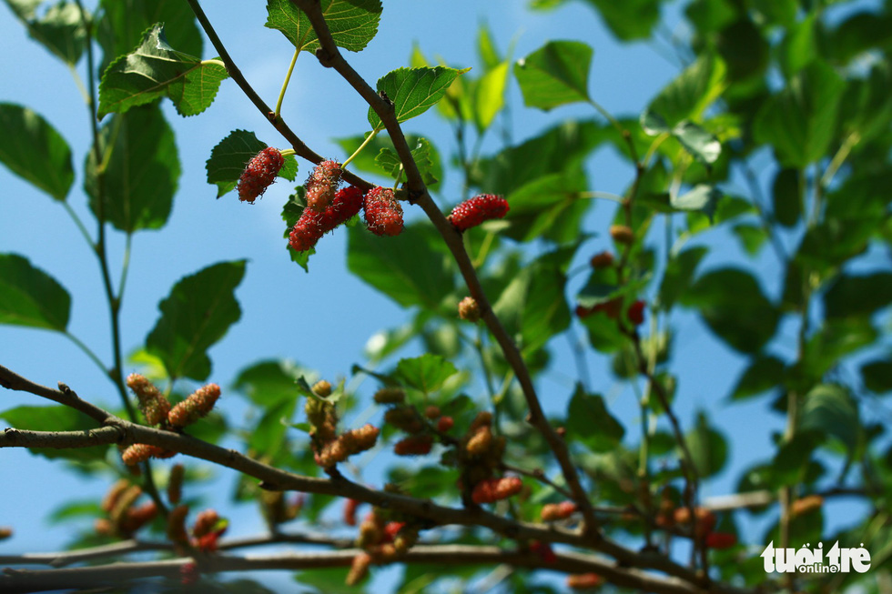 Young mulberries are red in color and taste a little sour . Photo: Tan Luc / Tuoi Tre