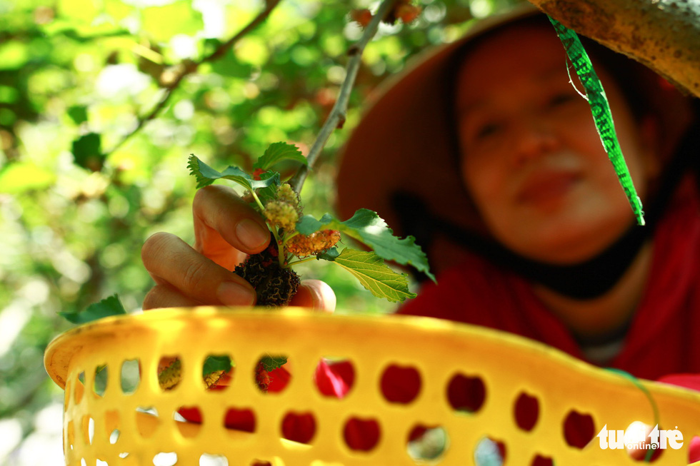 A close-up of a mulberry grown in Hoi An City, Vietnam. Photo: Tan Luc / Tuoi Tre