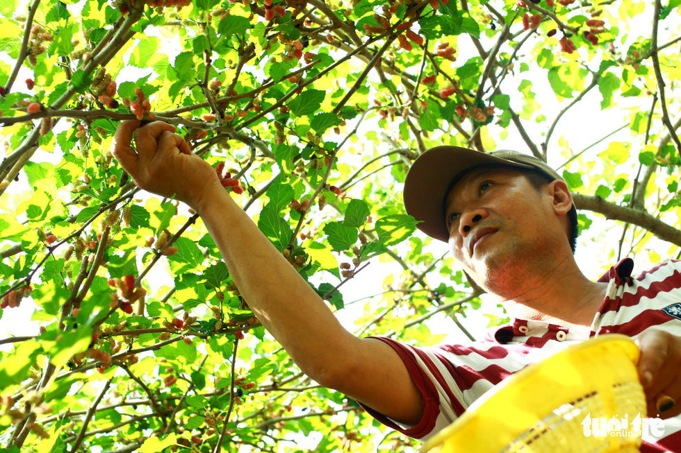 Le Van Chinh picks ripe mulberries from a tree in Hoi An City, central Vietnam. Photo: Tan Luc / Tuoi Tre
