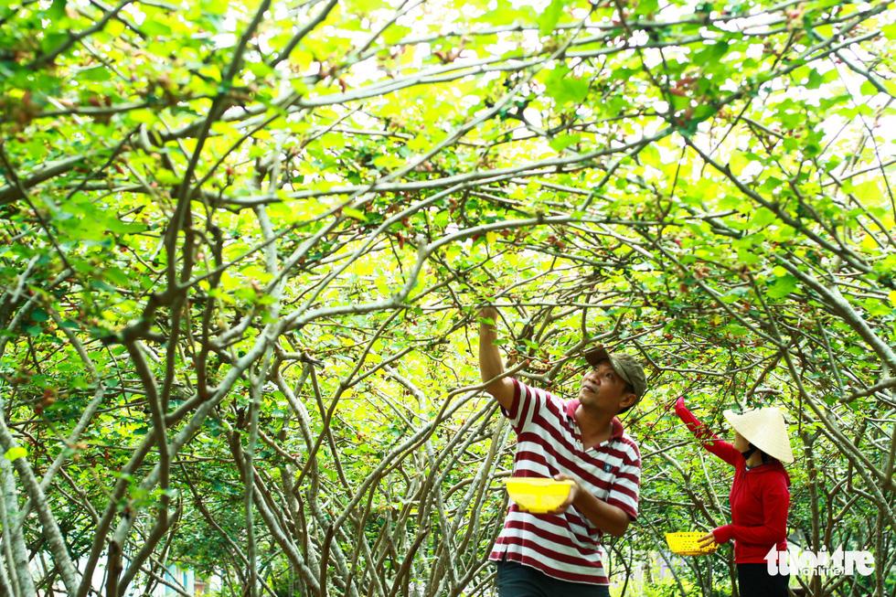Mulberry harvest season heralds start of summer in Vietnam's Hoi An