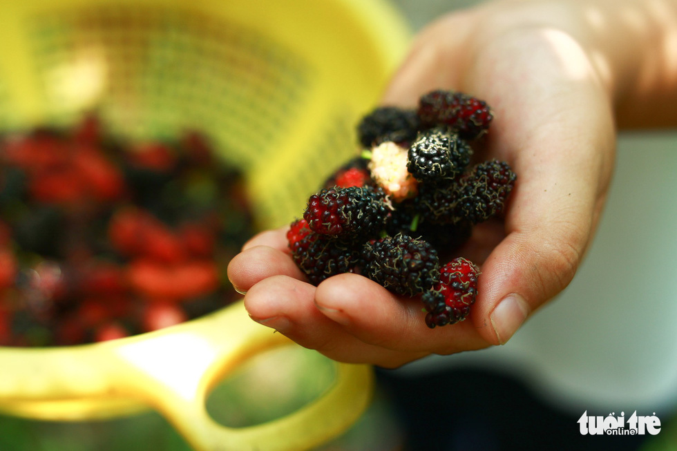 Fresh mulberries are in season in Hoi An City, Vietnam. Photo: Tan Luc / Tuoi Tre.
