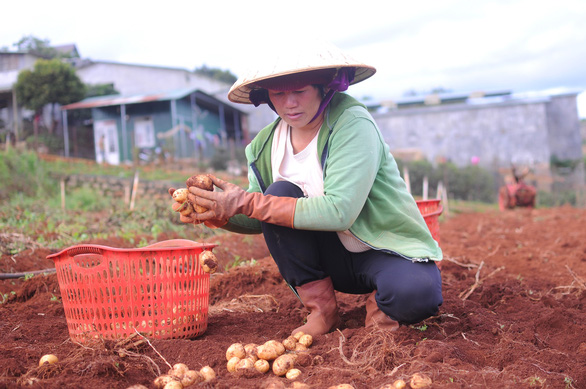 Da Lat adds anti-counterfeit stamps on potatoes in fight against Chinese fakes