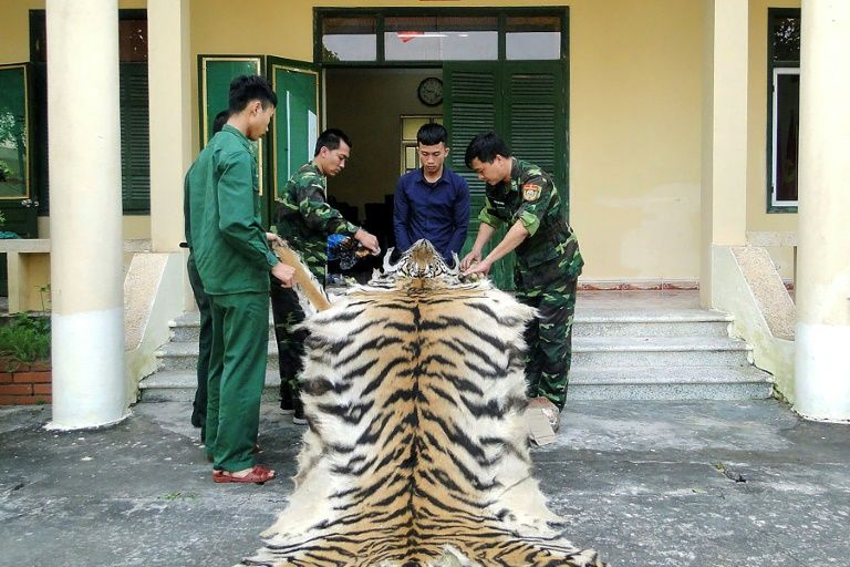 Vietnam man arrested smuggling tiger skin, bones to China