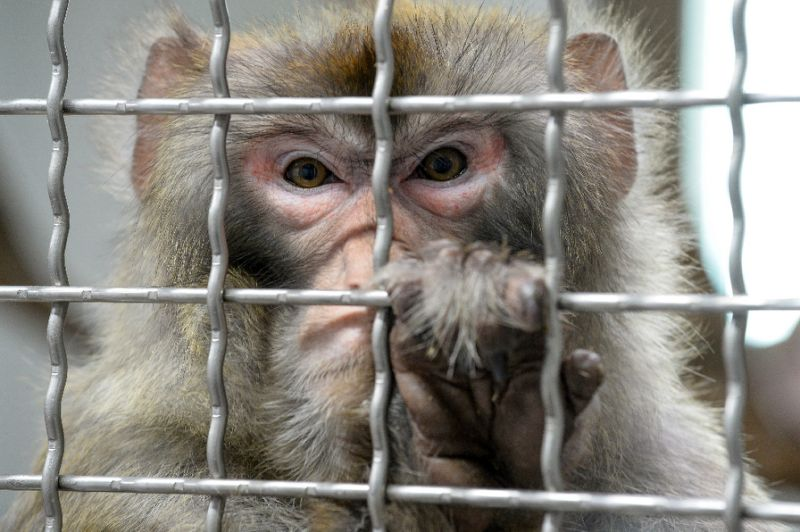 Chinese scientists create monkeys with human brain genes