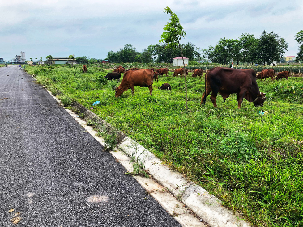 Mega urban project becomes grazing land in Hanoi's outskirt