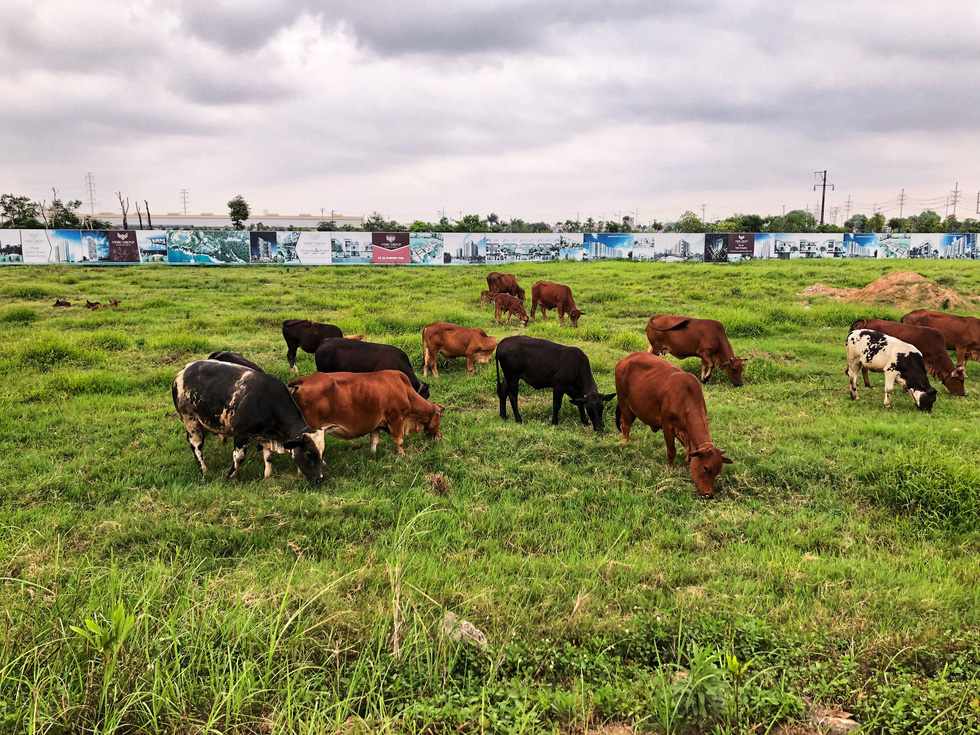 Cows eat grass within an abandoned mega-urban project