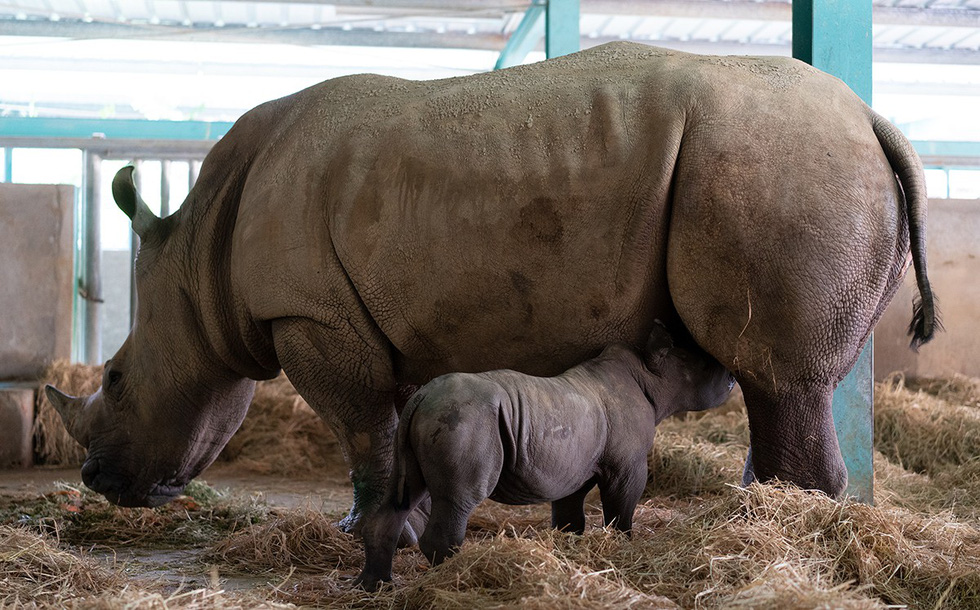 Rarity: Two white rhinos successfully delivered in Vietnam