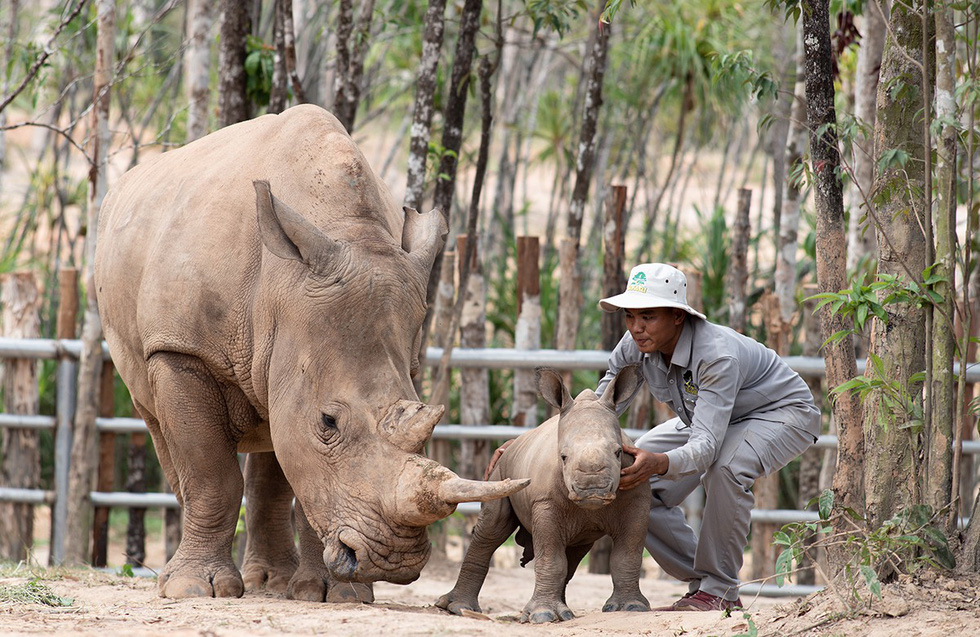 A rhino cub enjoys the caress of zookeepers at Vinpearl Safari on Phu Quoc Island, southern Vietnam. Photo: Huu Hanh / Tuoi Tre