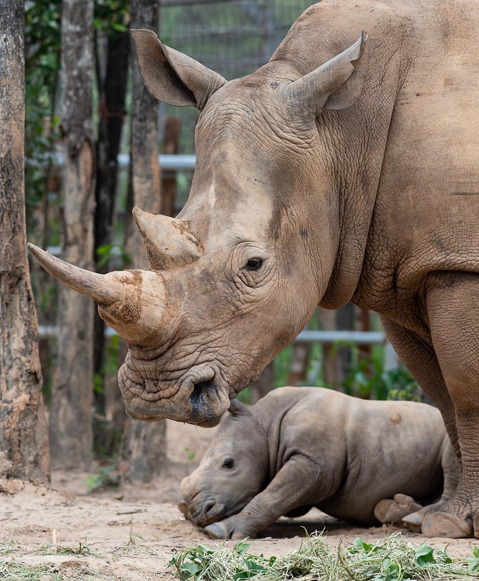 The cub born on April 3, 2019 was named 'Hakuna Matata'. Photo: Huu Hanh / Tuoi Tre