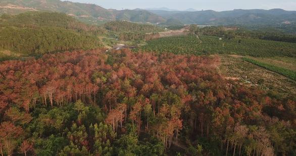 3,500 pine trees found poisoned in Vietnam's Central Highlands